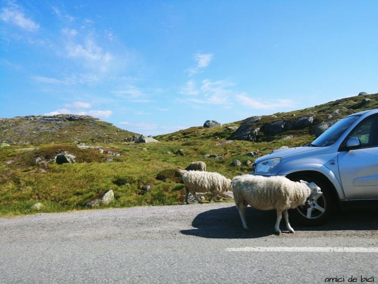 Norwegia owce